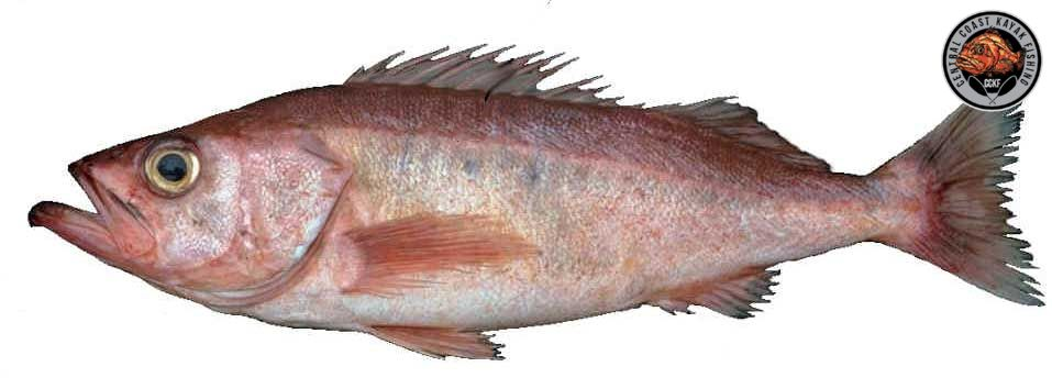Chillipepper Rockfish